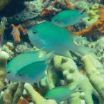 Altrichthys alelia, A Fascinating New Microendemic Brooding Damselfish