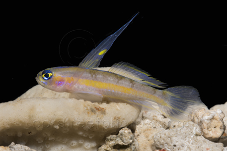 saber goby