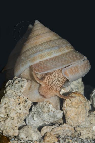 slit shell