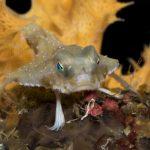 Ogcocephalus sp., RARE Batfish