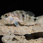twospot sea bass