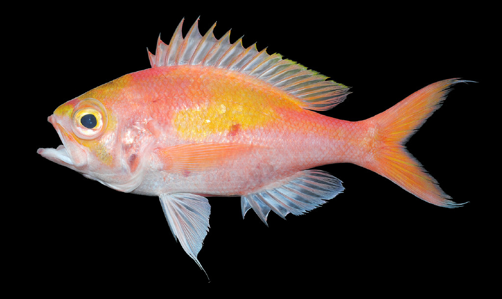 A new genus of slopefish, discovered in a fish market, and photographed during a coelocanth survey.
