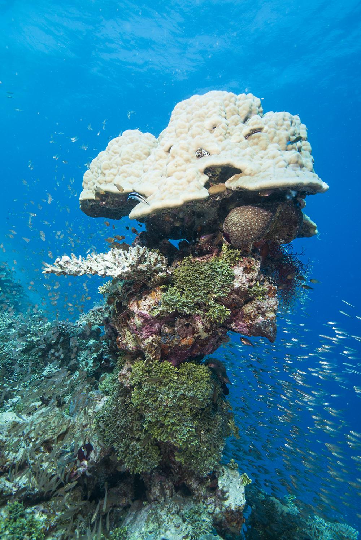 Halimedia algae