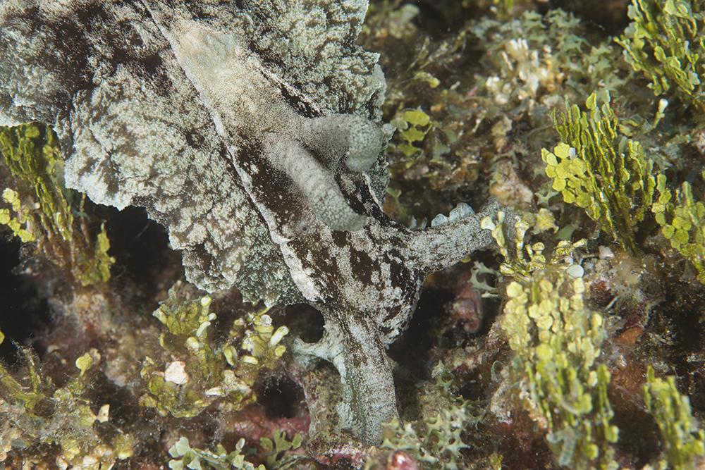 Halimedia algae sea hare
