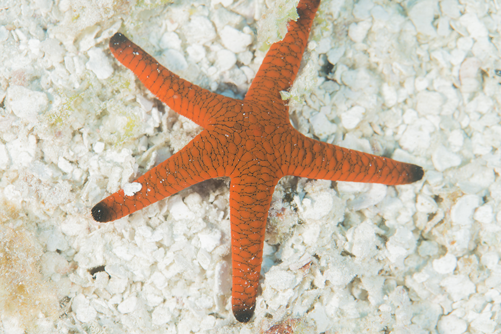Halimedia algae sea star