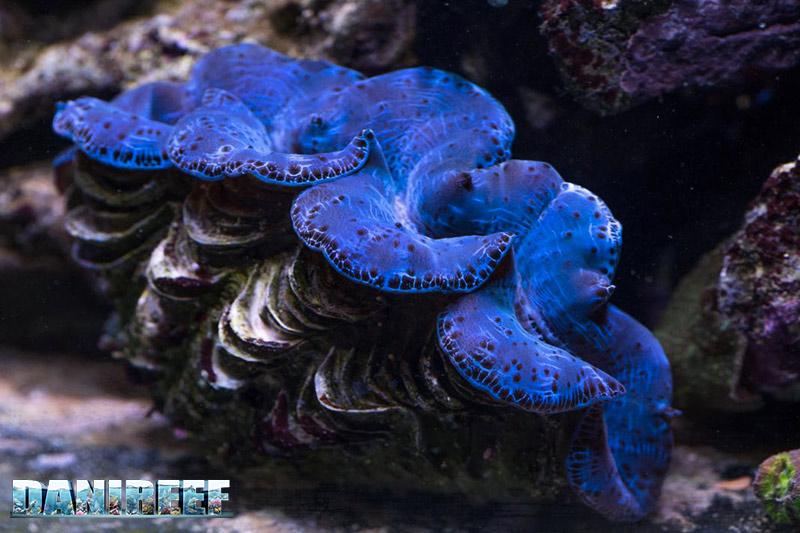 Pyramidellidae snail, clam