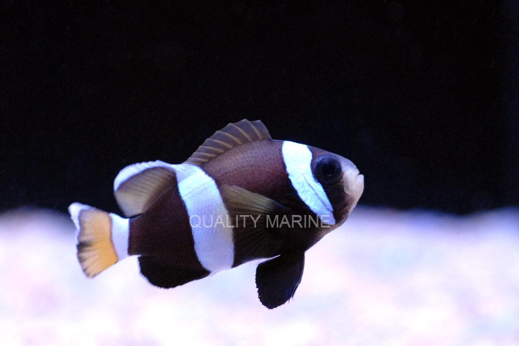 wideband clownfish