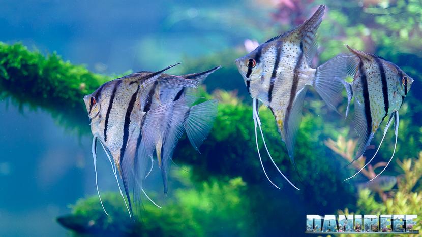 201705 aquascaping, itau, pterophyllum, scalari, zoomark 22 Copyright by DaniReef