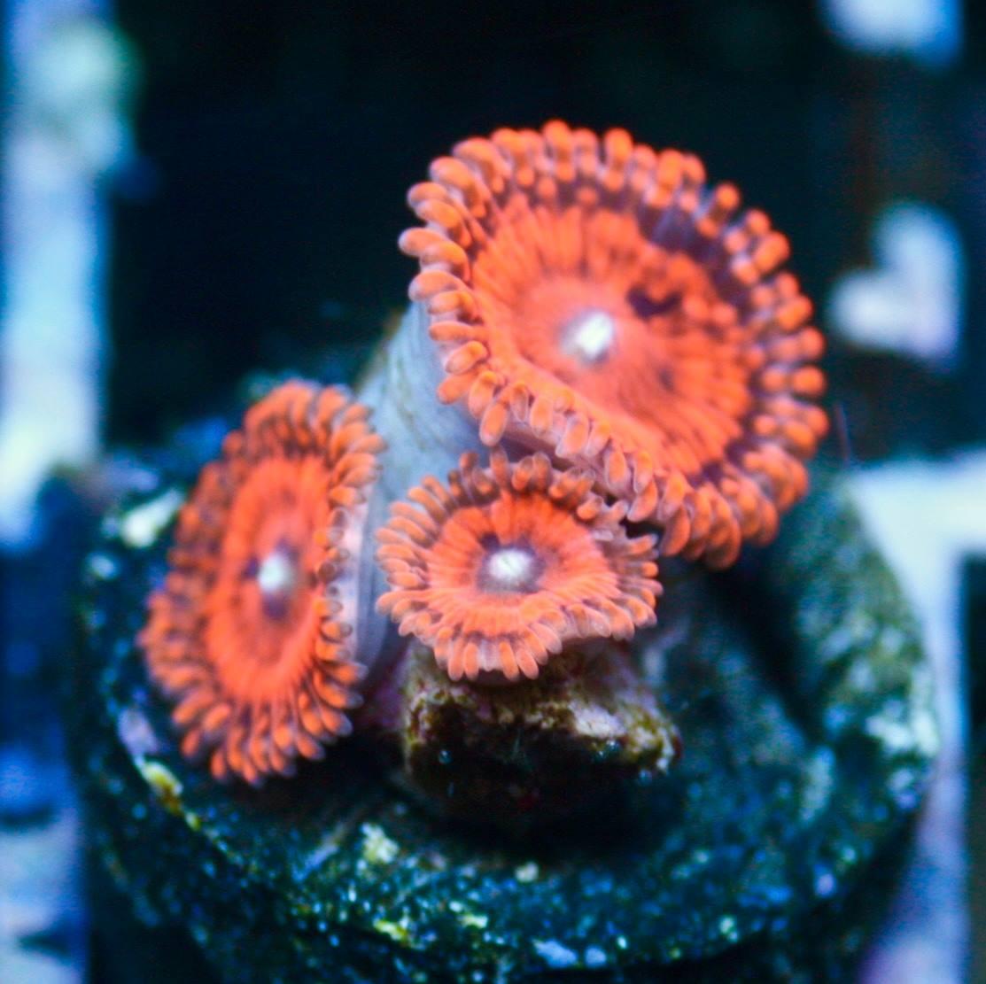 Valentines Day Massacre Palys Reefs Com