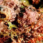 The Scorpionfish – a master of camouflage, but not always