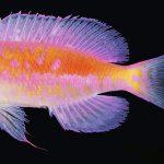 Will We Finally See Pseudanthias fucinus?