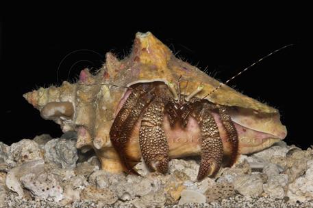 hermit crab queen conch