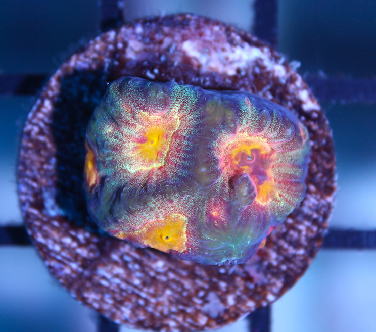 Vicious Eye Zoanthids Reefs Com