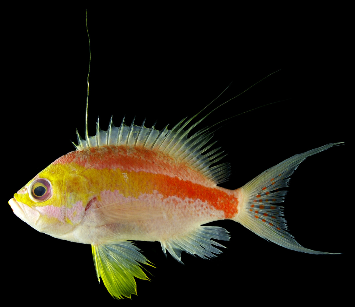 Stunning new reef fish found at market