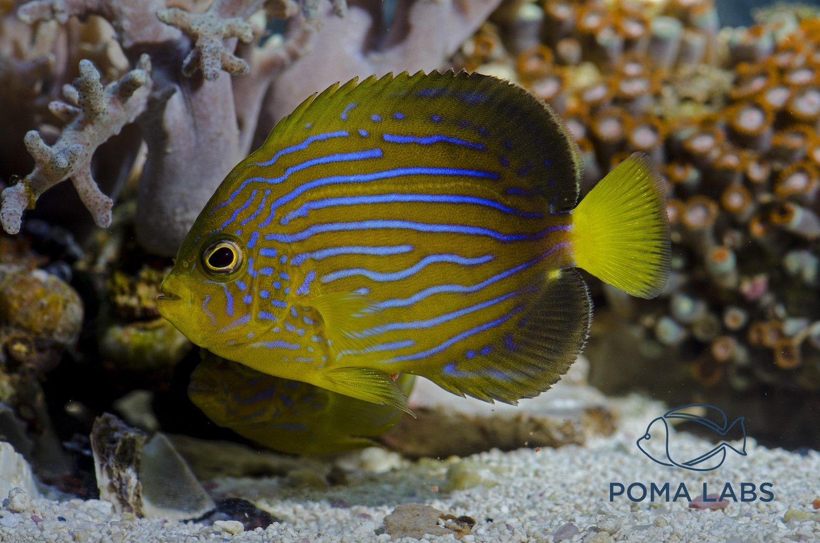 Macna 2017 Poma Labs Captive Bred Angelfish Reefs Com