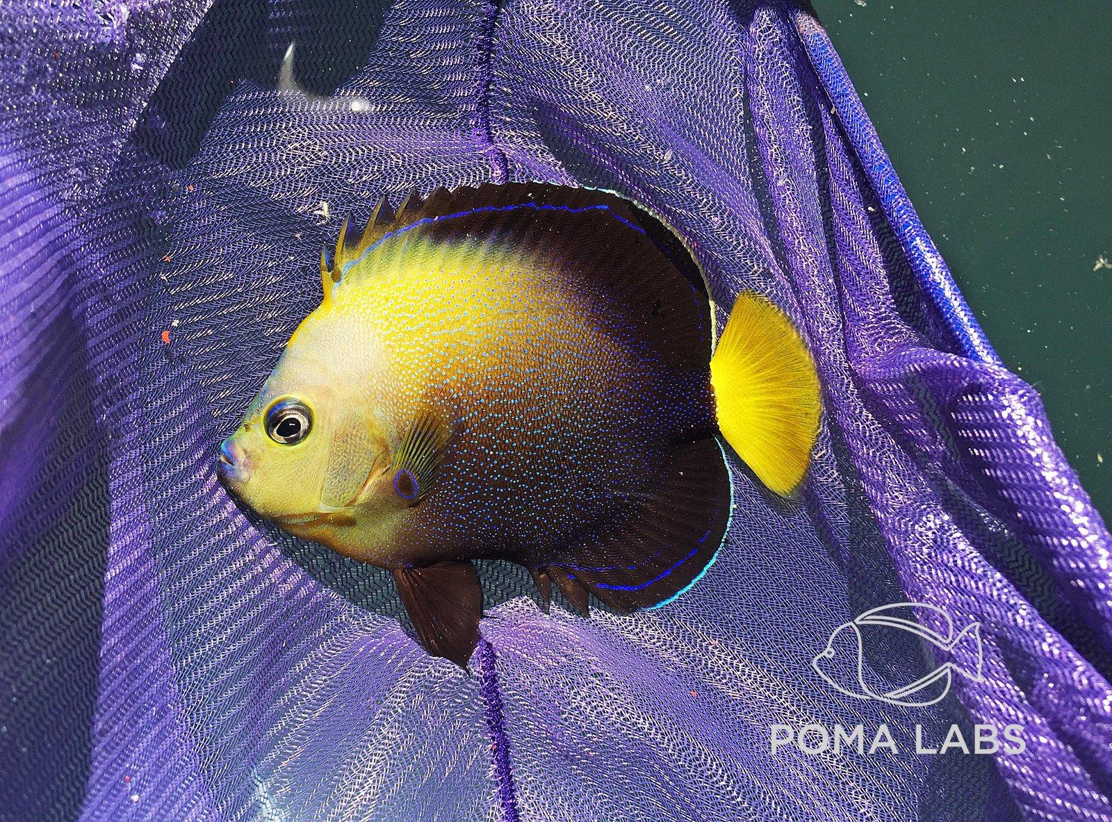 poma labs angelfish