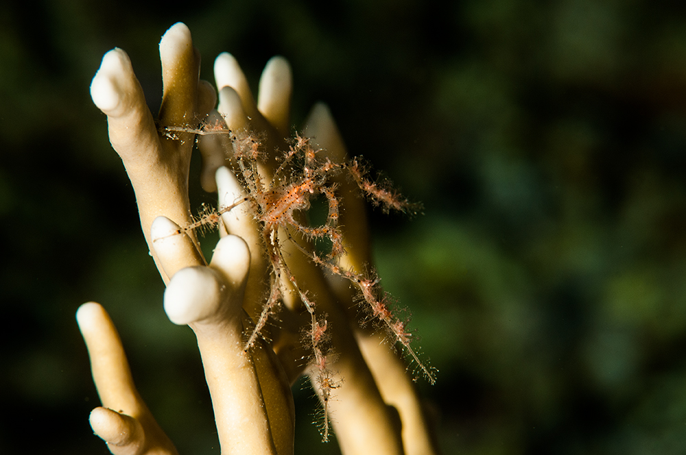Fire Coral Milleporidae
