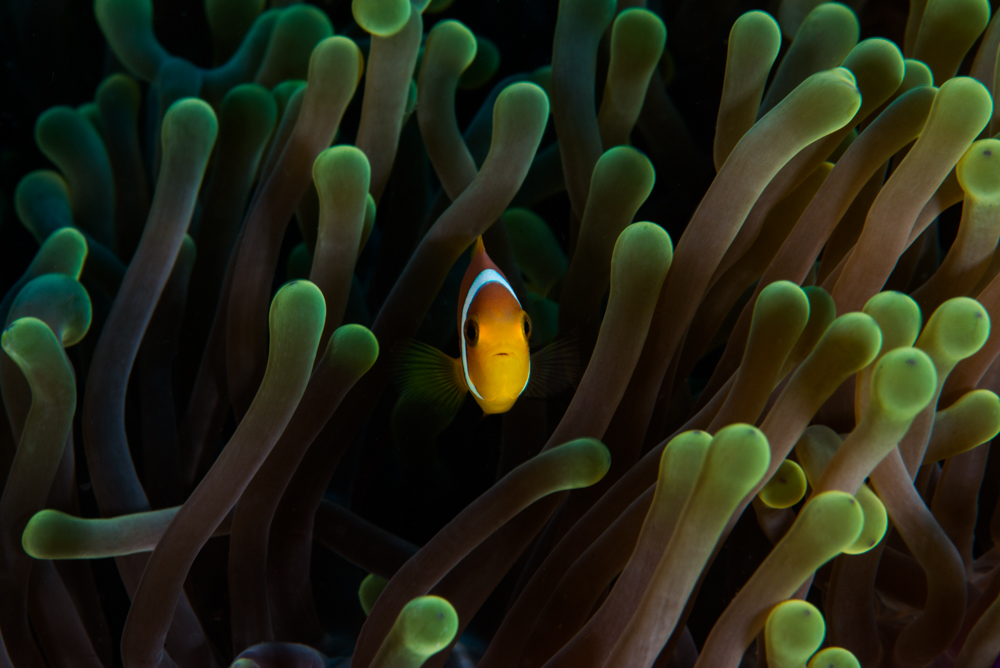 clown fish, anemone