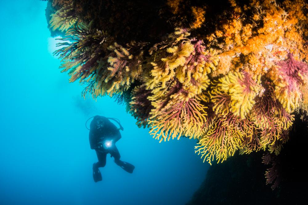 gorgonians, diver