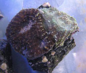 coral fusion