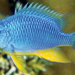 Burt's Damselfish, A Colorful New Species From The Solomon Islands