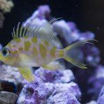 MACNA 2017: Biota Aquariums Captive Bred Borbonius Anthias (Odontanthias borbonius)