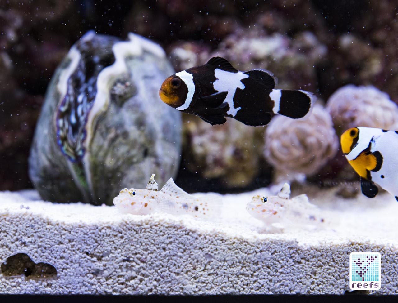 ORA maroon clownfish