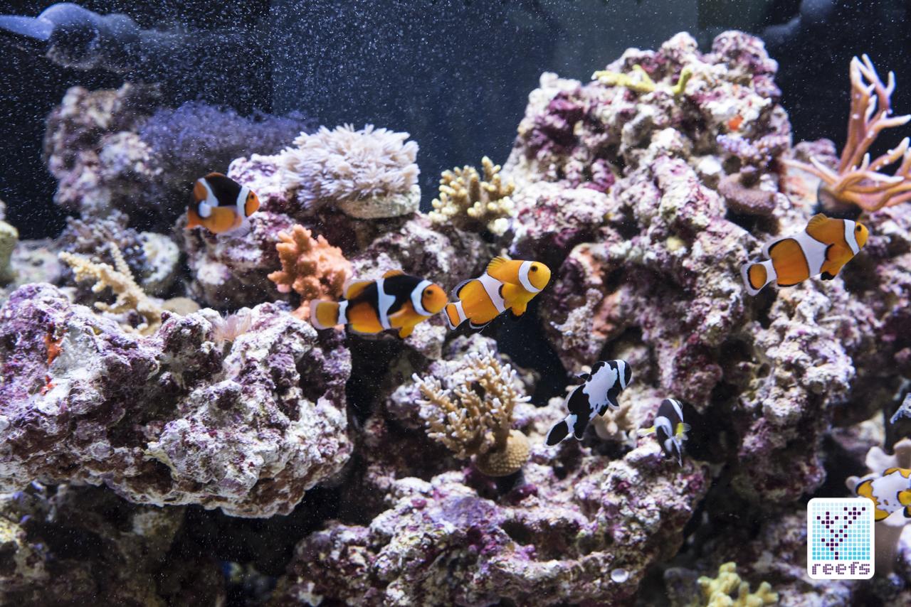 ORA reef tank clownfish
