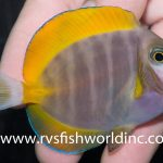 An Orangefin Powder Brown Tang?