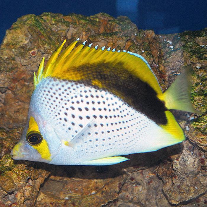 Declivus Butterflyfish