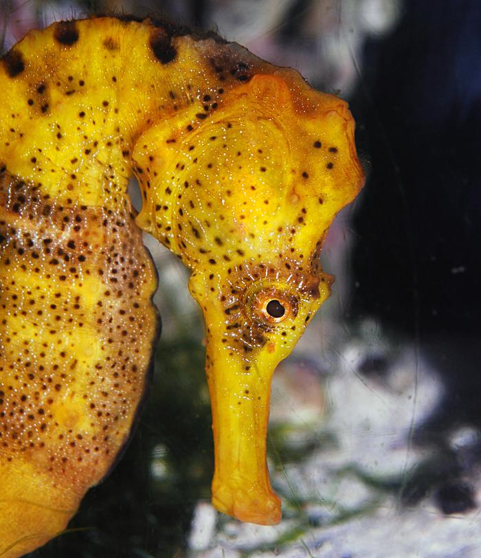 REidi seahorse