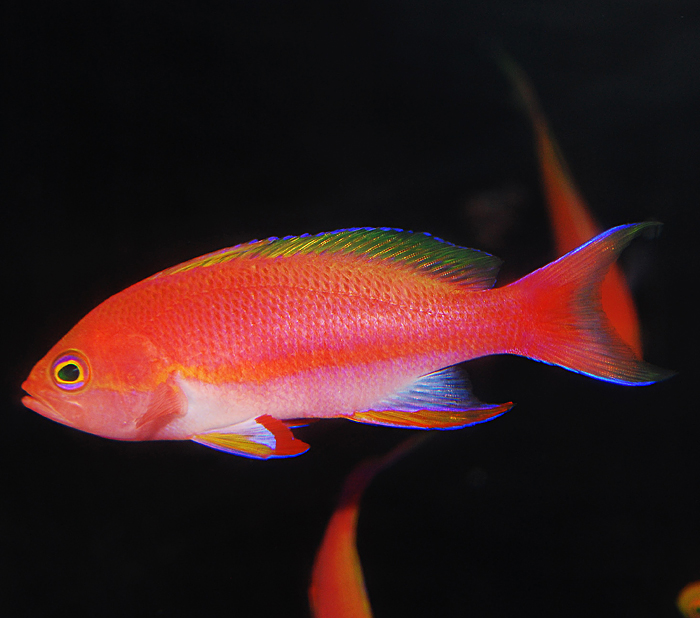 Resplendent Anthias