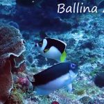 Ballina & Halfbanded Angelfishes Filmed Together At Ball's Pyramid