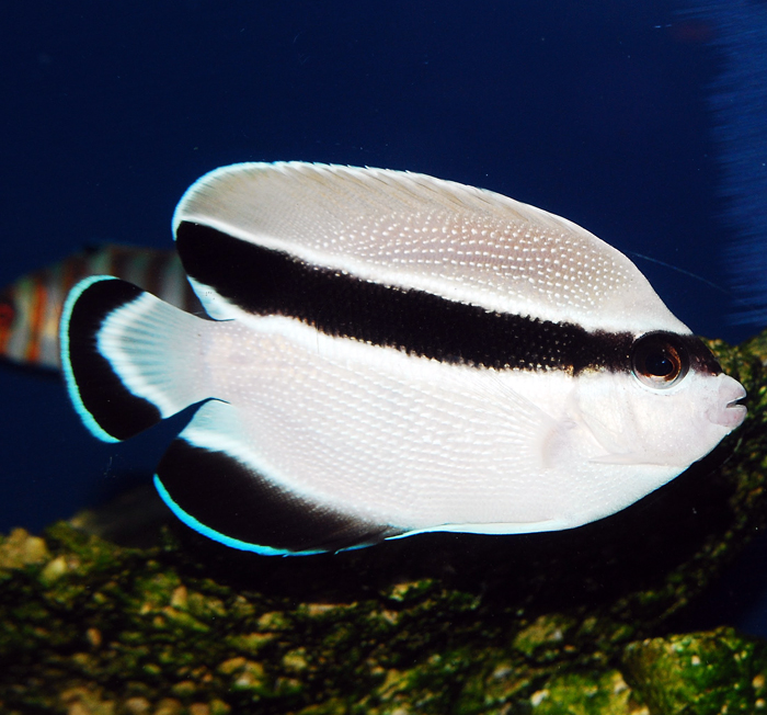 banded angelfish