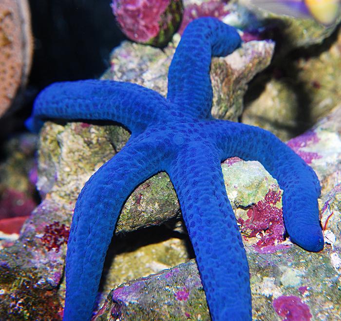 blue Linckia