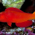 The Magma Fairy Wrasse Is Now Officially Cirrhilabrus shutmani