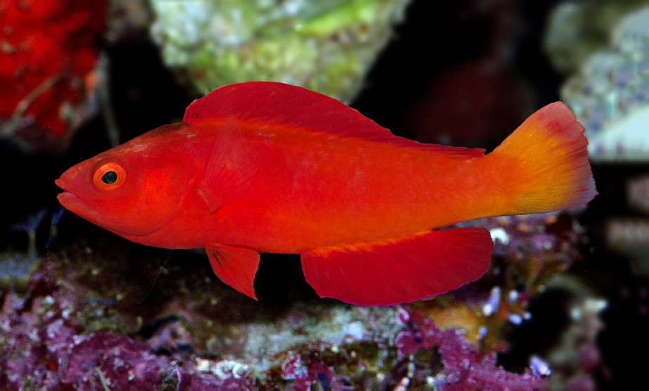This new wrasse is one of the reddish fish in the sea
