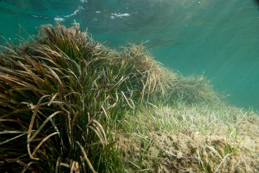 seahorse, seagrass
