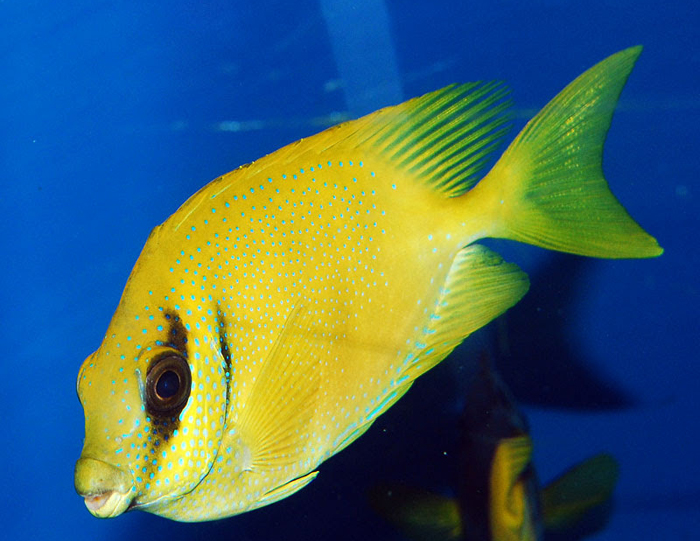 gold-rabbitfish
