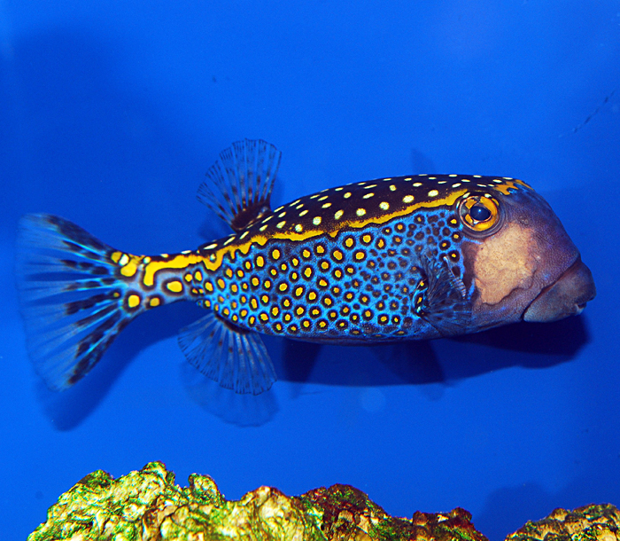 meleagris boxfish