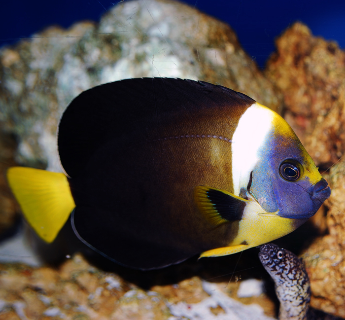 meredithi angelfish