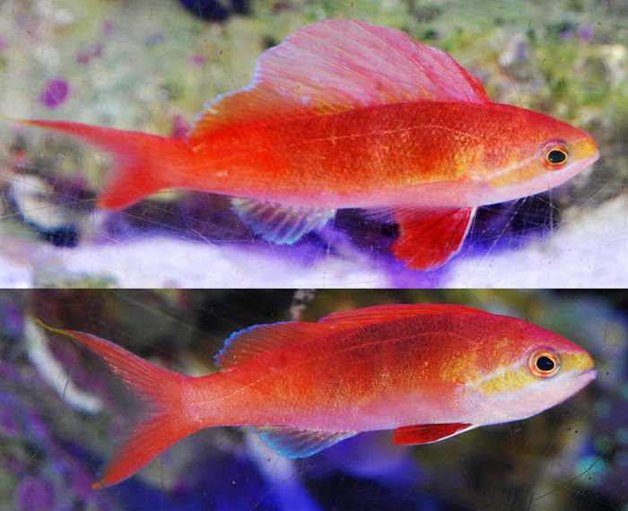 sailfin anthias