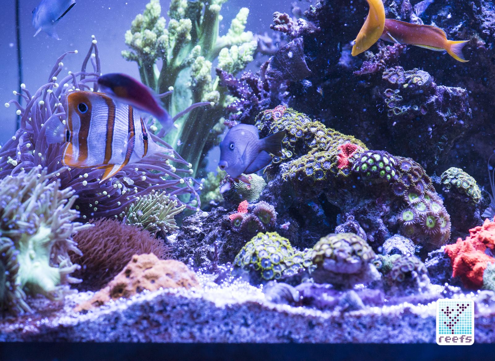 fish, reef tank