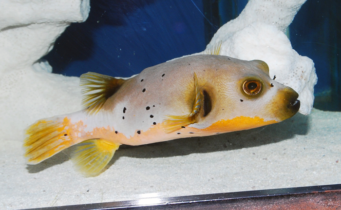 yellow belly puffer