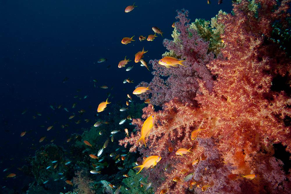 anthias, reef, coral