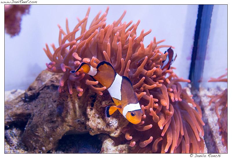 anemone, clownfish