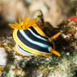 Chromodoris quadricolor, the perfect photographer's nudibranch