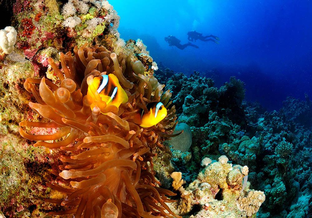 clown fish, anemone, divers