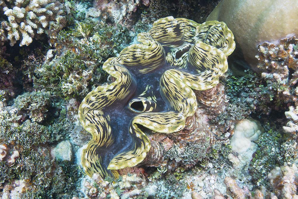 Tridacnid clam