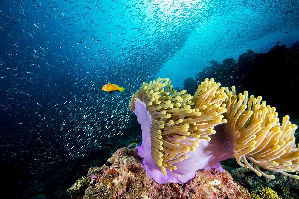 clown fish, anemone, shoal